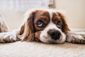 Sad Spaniel laying down