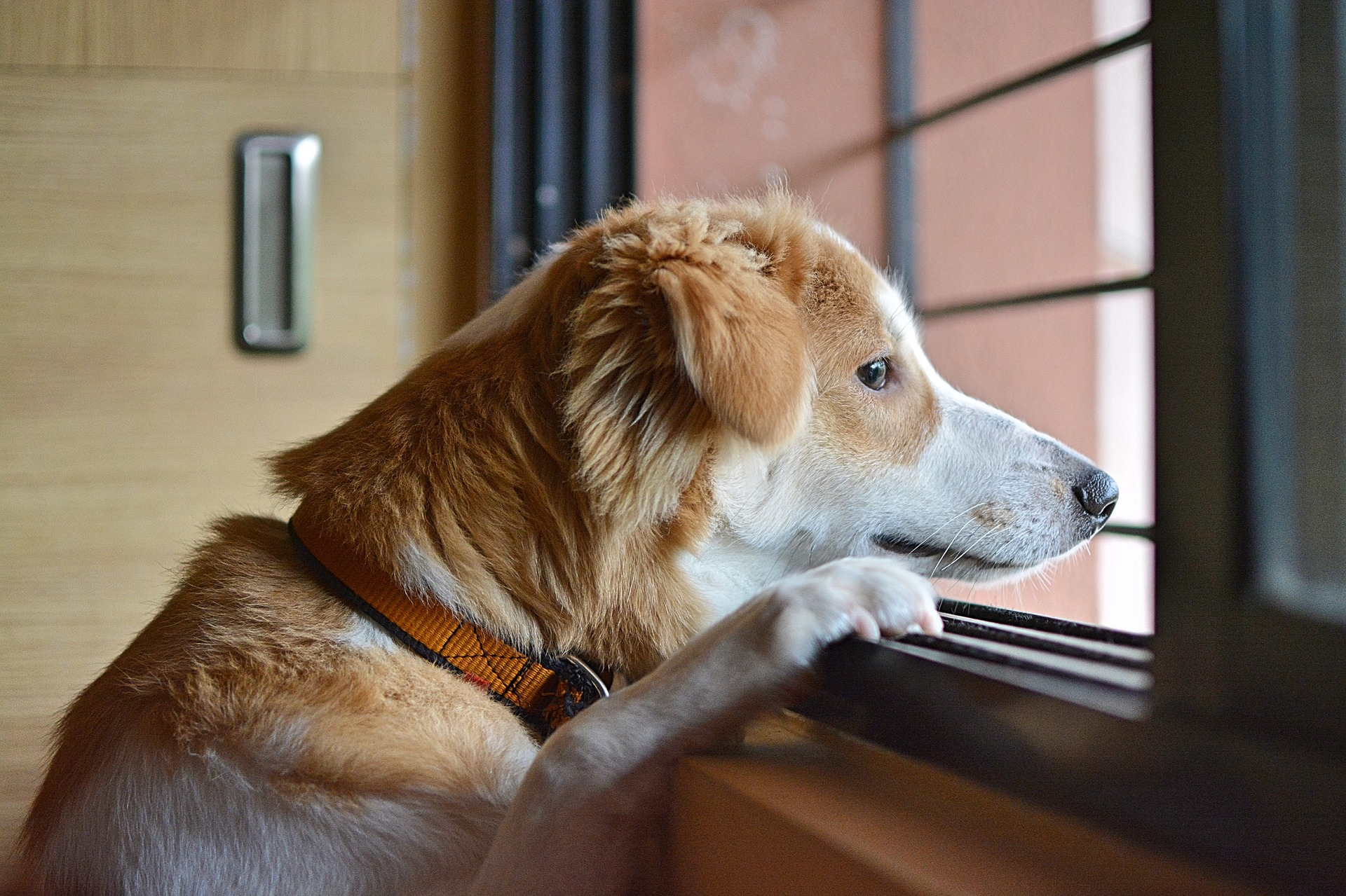 Sad Dog Looking Out Window, Separation Anxiety
