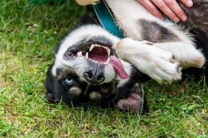 Dog Smiling in Grass, Dog Training, Online Dog Training, Virtual Dog Training, Remote Dog Training